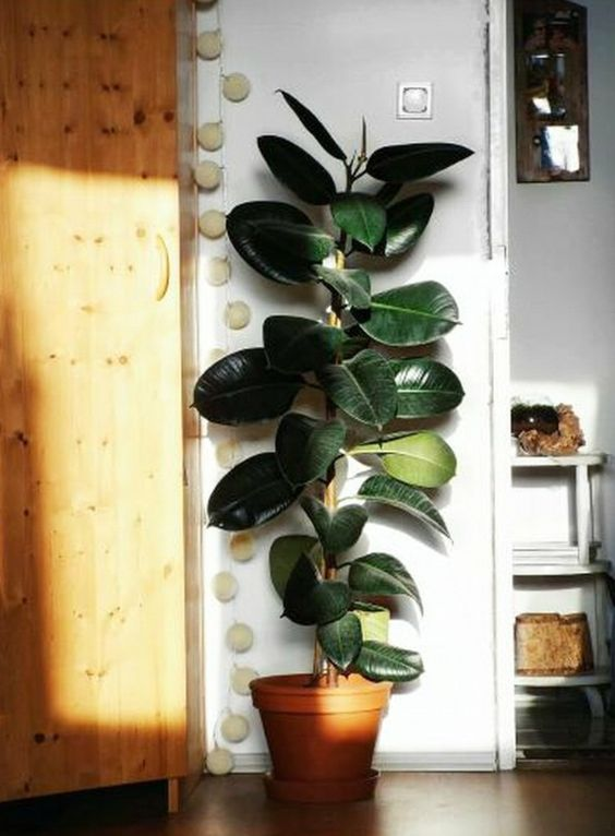 Rubberplant slaapkamer